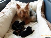 Looking for a good home for Regestered female yorkie