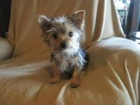 I am offering for sale, a female Yorkie puppy, (BooBoo