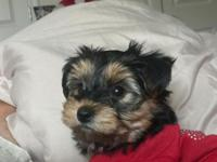 Female Yorkie puppy 3 months old. Has had 1st and 2nd