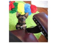 Female Yorkie 9 wks old $850 She is Cute and Cuddly
