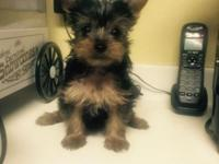 Female Yorkie Puppy will be available after 6May.