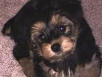 Female Yorkshire Terrier Puppy for Adoption-11 weeks