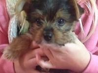Female Yorkie young puppy for sale. She is AKC