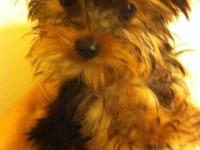 Pure Breed Yorkie Female $1500. 5 months old. Pee pad