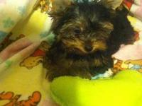 Female Yorkie ready now she will be 17 weeks old Sunday