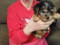 Baby female Yorkie Puppy. She is a black and Tan baby