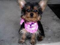 We currently have 2 smaller female yorkies for