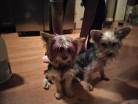 Three female yorkies for sale 4 weeks old first shots