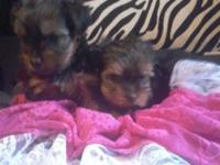 Only have 2 female yorkies left they will come with
