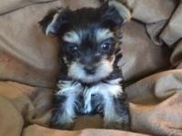 AKC females Yorkies dob March 16 they will be utd on