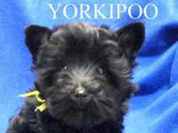 Teddy bear face Yorkipoo female ready to go. Tiny Toy