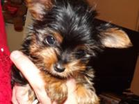 I have a single female yorkie puppy left. Since of