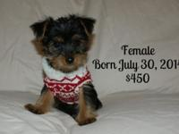 Tinkerbell and Petie had 3 lovable yorkie infants on