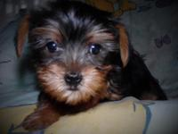 Two female Yorkshire Terrier puppies. Tails docked dew