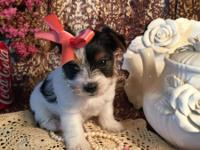 Female 7 week Tri-color Party Yorkshire Terrier was