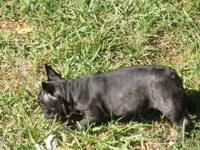 AKC Registered Female French Bulldog Puppy. Playful,