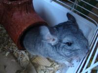 Im selling a female chinchilla, shes around a year old.