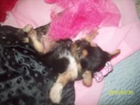 Adorable Ally,female Chorkie she has Yorkie Markings