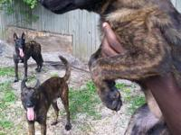 Female Dutch Shepherd puppies available for sale. Great