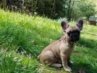 Beautiful fawn French bulldog puppy with a black mask,