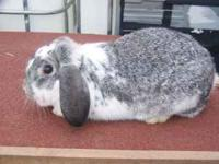I have two female Holland Lop Eared rabbits for sale.