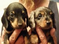 One black n tan, female, $250 One female, semi-long