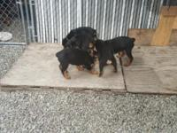 6 Week old Rottweiler Puppies about all set for