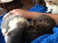 Adopt a Persian Kitten Home breeder hand raised Persian