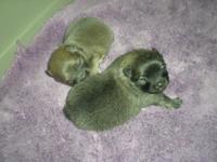 TWO BEAUTIFUL FEMALES POMERANIAN PUPPIES,PURE