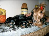 2 females Yorkshire terrier puppies,(3 weeks and 4 days