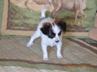 I have for sale 2 purebred female Papillon new puppies