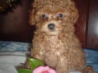 Gorgeous Red Plaything Poodle Puppy for sale. She is 9