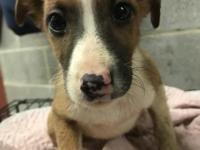 Hi I'm Fen an 8 week old female boxer mix. I am happy