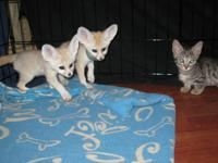 Fennec Fox Kits for sale...(234) 200-6503,. They are