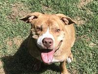 My story   Fenton is a happy pit bull, who is ready to