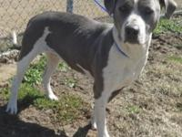 Fergie is a two year old, female American Pitbull/Hound