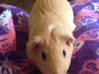 Ferguson is a male, four month old, American Guinea Pig
