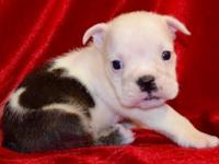 Fern is a piebald female English Bulldog puppy with