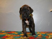 Akc 50% euro Onyx brindle female Current vaccinations,