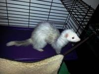 Female ferret about 1 year old. Beautiful color and