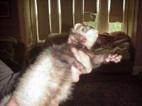 Ferret - Bandit - Large - Young - Male - Small & Furry