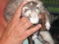 Ferret - Bandit - Medium - Baby - Male - Small & Furry