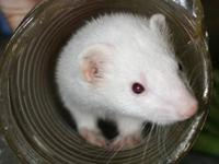 Ferret - Basil - Small - Adult - Male - Small & Furry