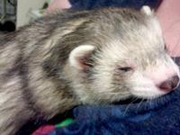 Ferret - Brutus - Small - Adult - Male - Small & Furry
