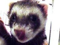 Ferret - Bubba - Small - Adult - Male - Small & Furry