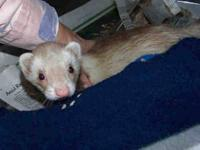 Ferret - Burt & Ernie - Medium - Adult - Male - Small &