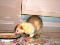 Ferret - Charlie - Small - Young - Male - Small &