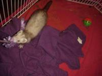 Ferret - Cocoa - Small - Baby - Female - Small & Furry