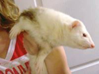Ferret - Costello - Small - Young - Male - Small &