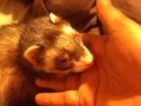 I have a 1 year old boy ferret for sale with his cage,